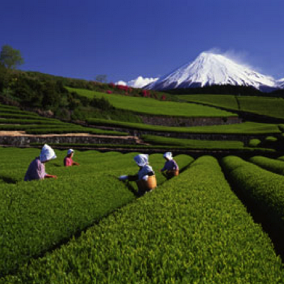 Harvesting+Matcha+Tea